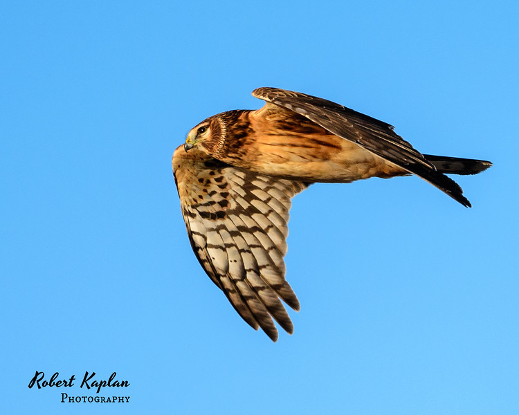 Northern Harrier -7883.jpg