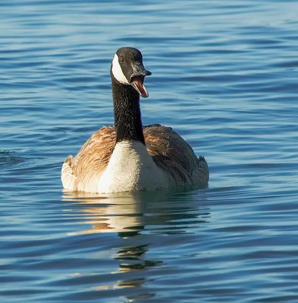 Canada Geese-2.jpg