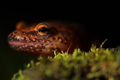 010 Red salamander