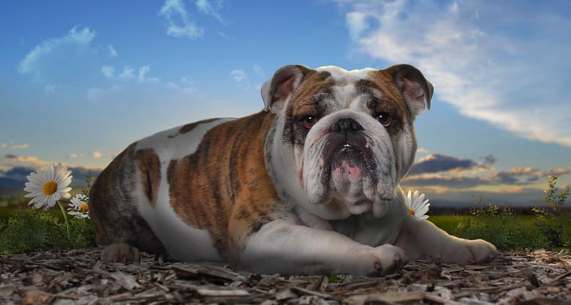Bulldog-4.jpg