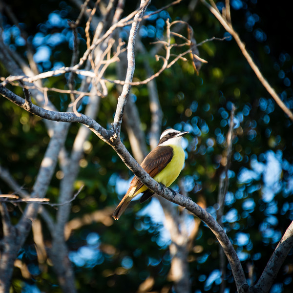 When visiting Mayakoba, Mexico, these little birds always hang out close to our unit.