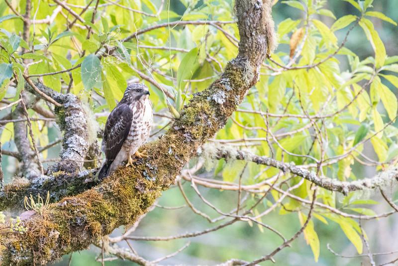 Broadwinged Hawk - San Jose, Costa Rica