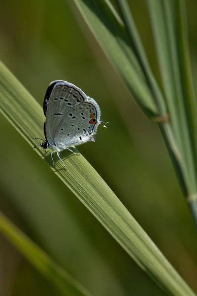 Eastern Tailed Blue--- Big Foot f11 Tripod