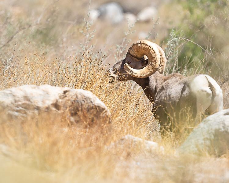 desert ram landscape best.jpg