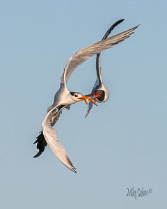 Royal Terns and Laughing Gulls