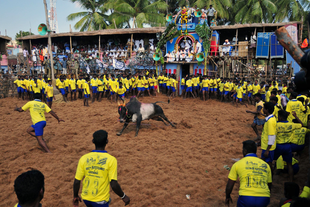 Description of . Participants stand and react in a ring during the traditional bull taming festival called 'Jallikattu' in Palamedu near Madurai, around 500km south of Chennai, on January 15, 2013. Jallikattu is a bull taming sport played in Tamil Nadu as part of Pongal celebrations. AFP PHOTOSTRDEL/AFP/Getty Images