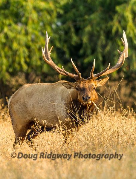 Bull Tule Elk