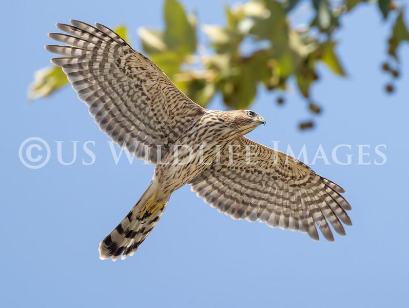 Juvie_Coopers_Hawk_In_Flight_AL3I2526.jpg
