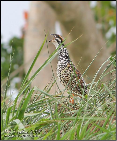 Partridges, Pheasants, Quail - Family: Phasianidae