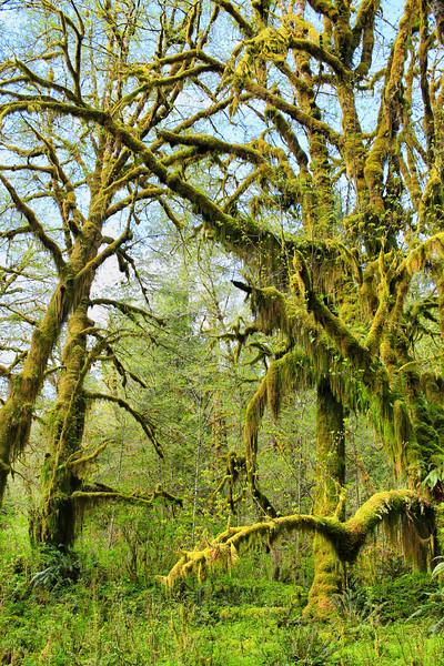 Lake Quinault Rainforest, WA