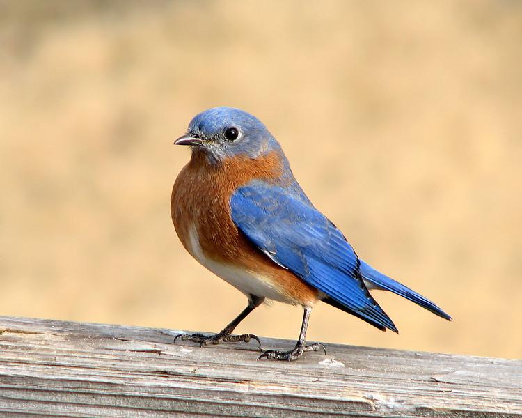 bluebird_0644.jpg
