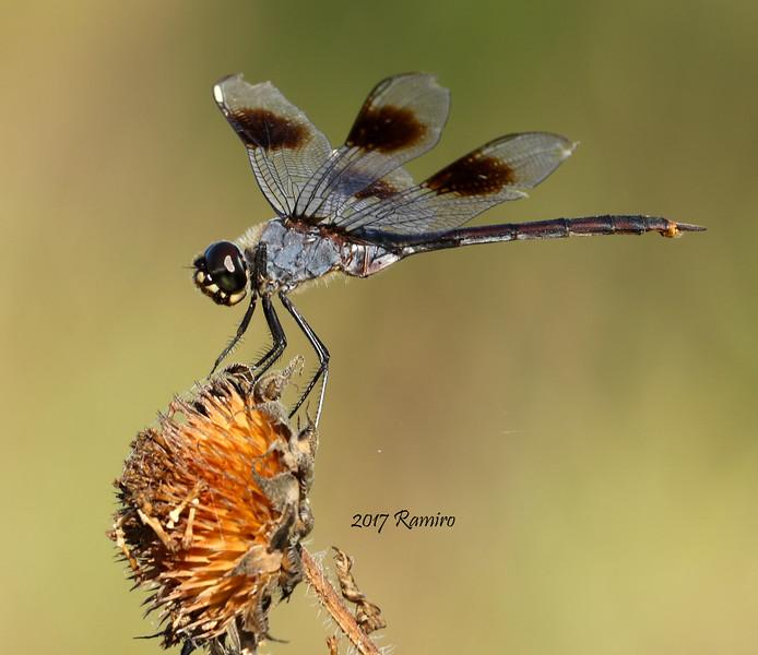 Dragonfly IMG_2641.jpg