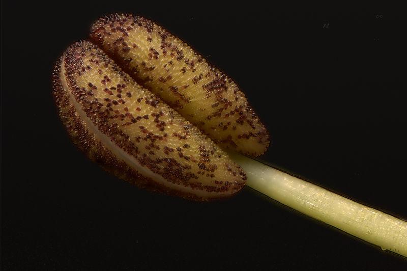 stamenheliconfocus.jpg
