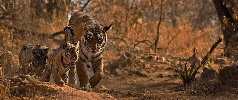 ranthambhore, ranthambore, tigers, wild