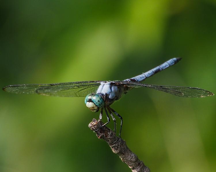 Great Blue Skimmer, male