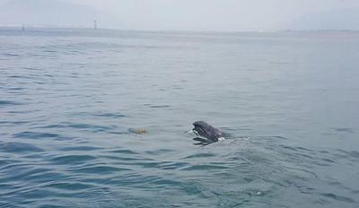 R1622121 - Bowhead whale 1