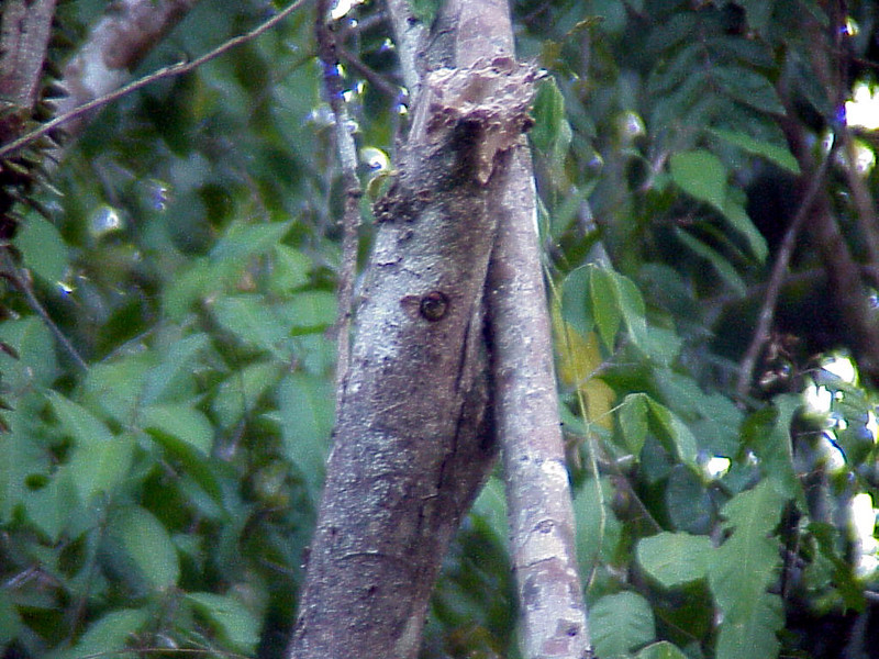 Olivaceous Piculet at nest cavity at Rancho la Merced Costa Rica 2-16-03 (50898198)