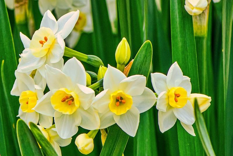 Daffodils 2-14-18- Lum 2389.jpeg
