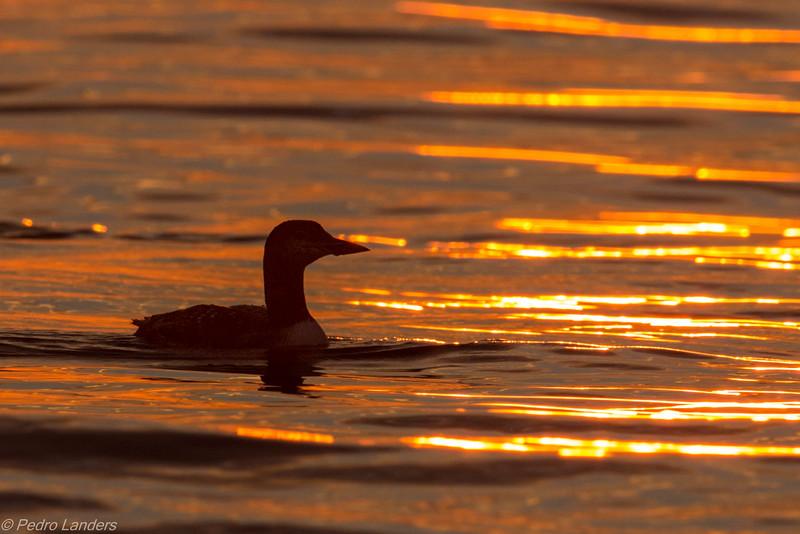 Loon at Sunrise