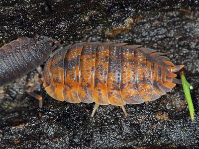 Slaters - Isopoda