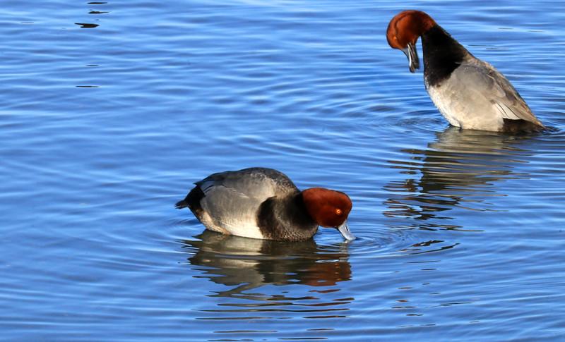 Ducks IMG_4062.jpg