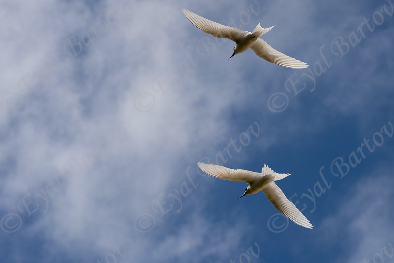 white fairy terns  3.jpg