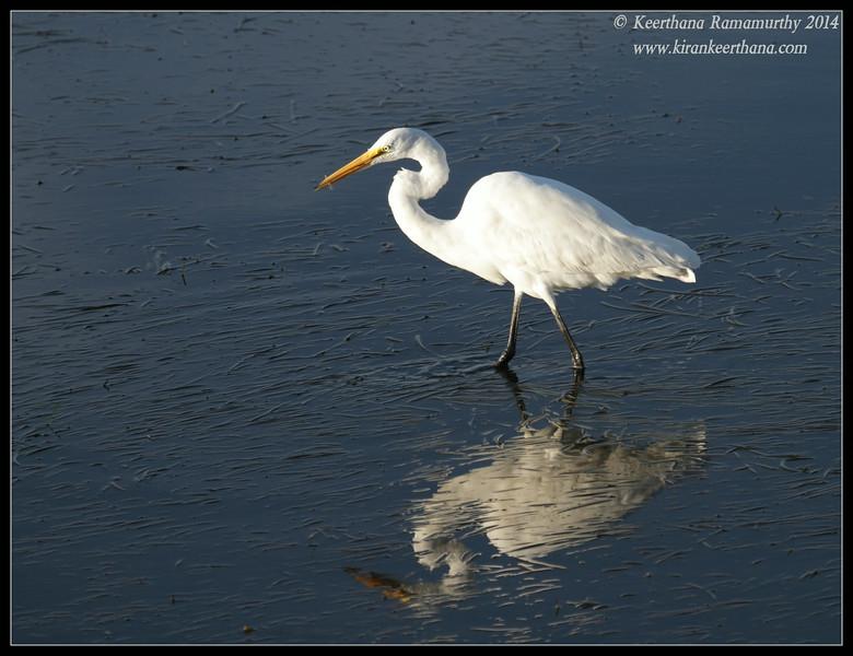 Great Egret, Robb Field, San Diego River, San Diego County, California, February 2014