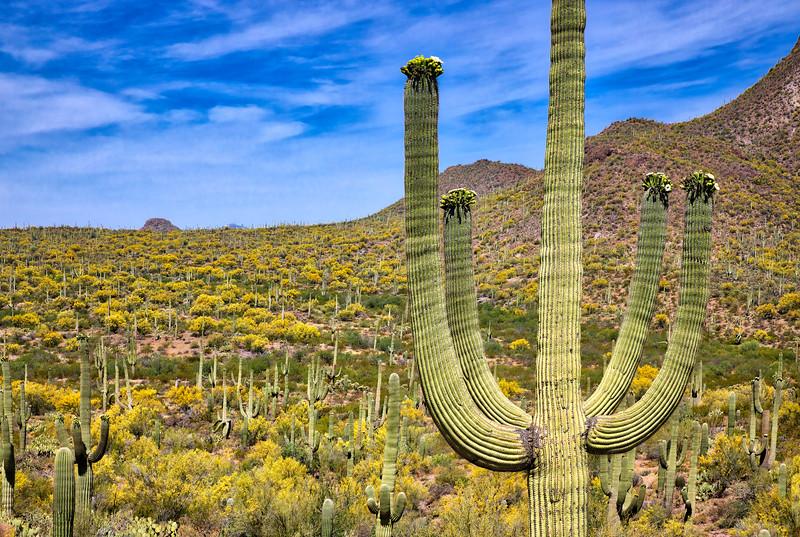 Blooming Saguaro
