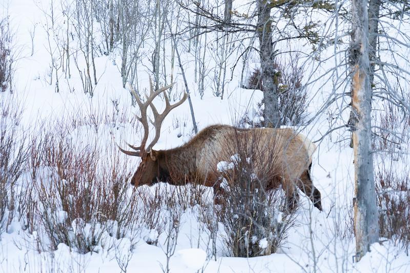 _AR71000 Bull Elk in willows.jpg