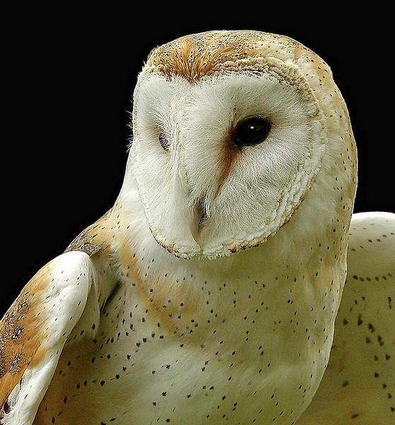 Barn Owl Portrait_Bob Walling.jpg