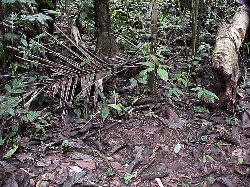 Fer-de-Lance at La Selva Costa Rica 2-11-03 (50898125)