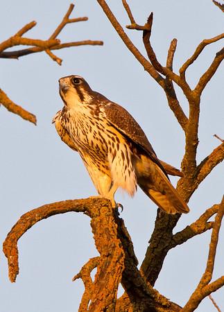 Prairie Falcon Yolo 2012