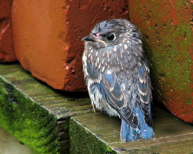 bluebird_fledgling_1915.jpg