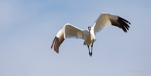 Whooping Cranes 2019