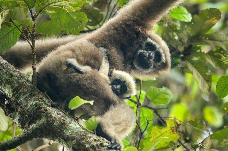 Hoolock-Gibbon-Mother-and-kid-2.jpg