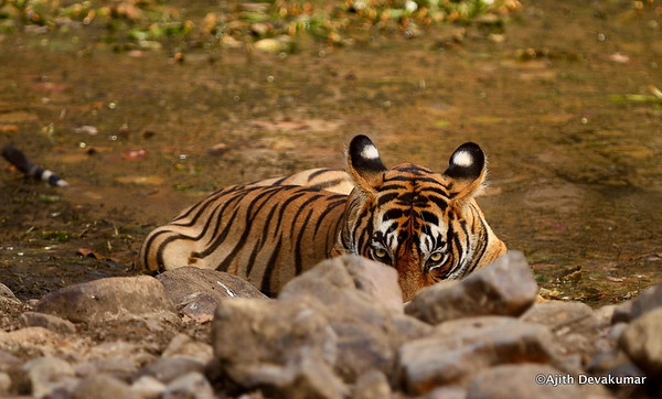 Ranthambore - Tigers and other Wildlife