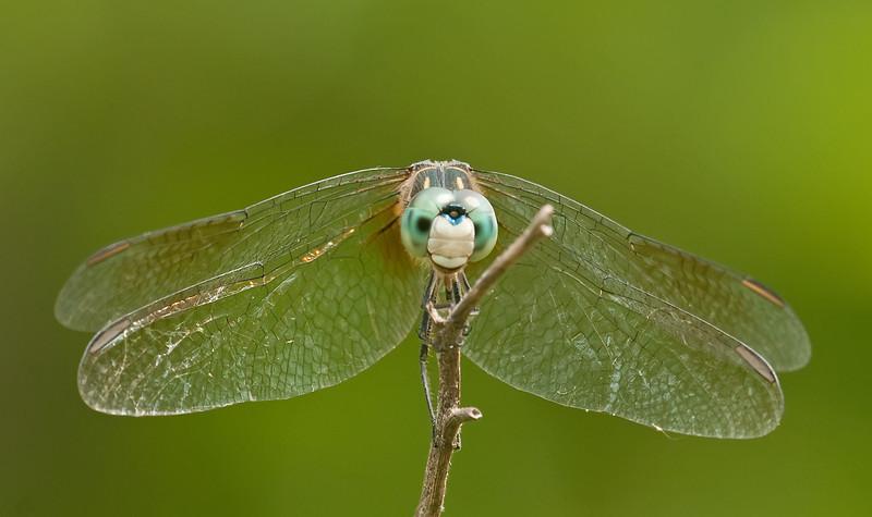 Pachydiplax longipennis (Blue Dasher)