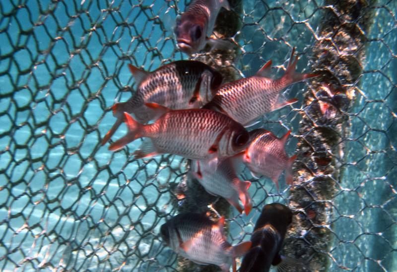 Soldier fish.