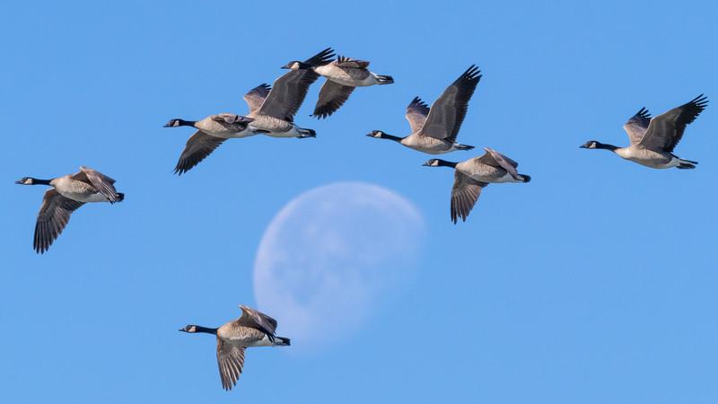 00 0035 Geese Flight 16x9.jpg