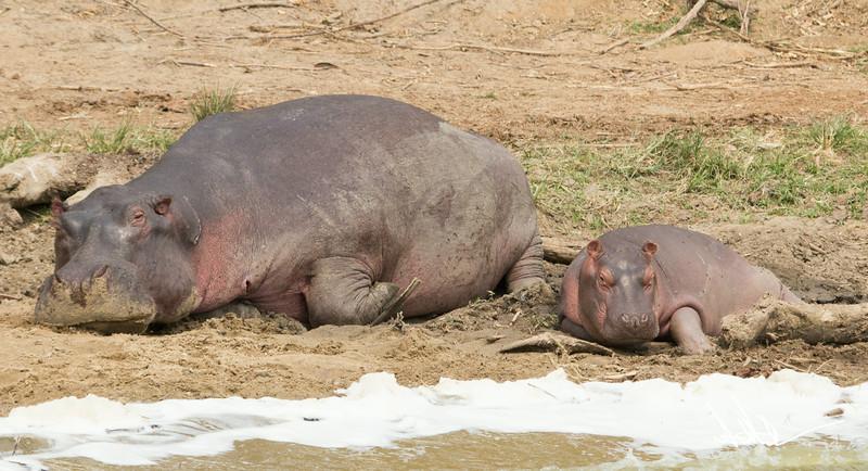Hippos S-20.jpg