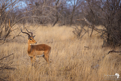 Male Impala (landscape version)