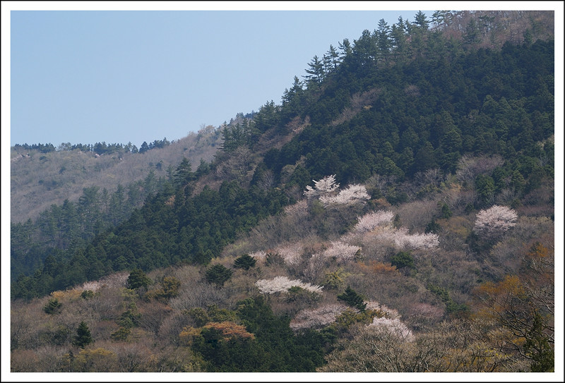 Wild cherry trees on the mountain.