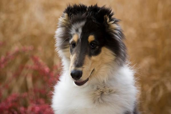 Collie Puppy JK