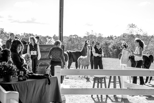 Blue Ridge Llama and Alpaca Show, October 19, 2014