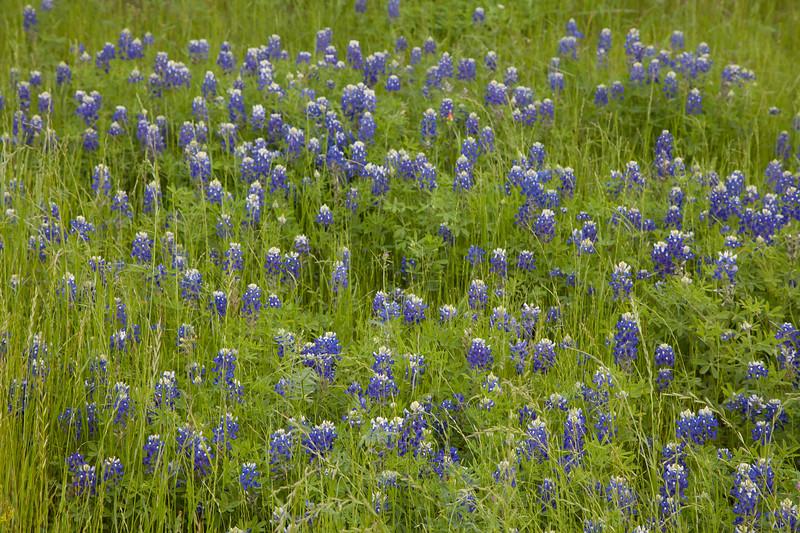 2015_4_3 Texas Wildflowers-8282.jpg