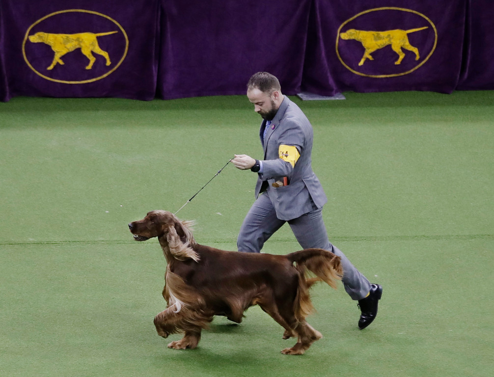 . Adrian, an Irish setter, competes in Best in Show during the 141st Westminster Kennel Club Dog Show on Tuesday, Feb. 14, 2017, in New York. (AP Photo/Frank Franklin II)