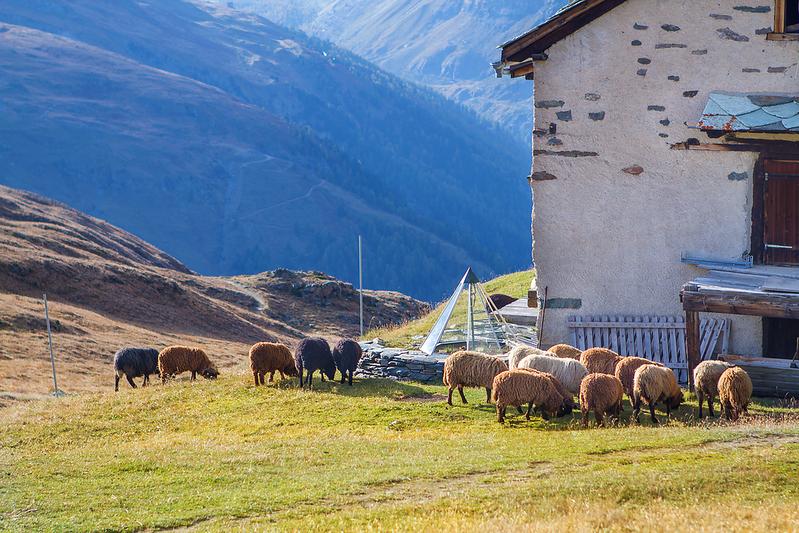 """""""Sheep"""",  Zermatt, Switzerland"""