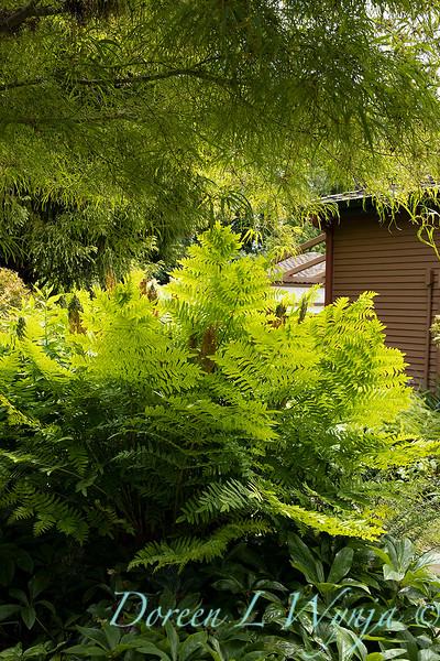 Osmunda regalis in a garden setting_6879.jpg