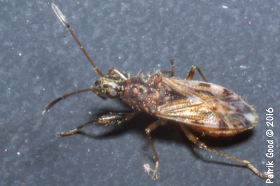 Red-eyed Seed Bug
