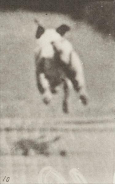 Dog Maggie galloping